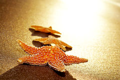 Seastars on the shore of a beach Royalty Free Stock Images