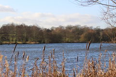 Seaswood Pool Bullrushes. Bull Rushes by Seaswood Pool Nuneaton View from Pier and Foot Path Stock Photo