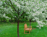 A Seat Among the Blossoms. A photograph of an outdoor bench under two crabapple trees in full white bloom Royalty Free Stock Photography