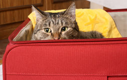 Seat in a suitcase too will suffice me. The house pupil a cat has gathered in travel Stock Photo