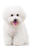 Seated bichon frise puppy dog. On a white background Stock Photo