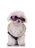 Seated bichon maltese Stock Photos