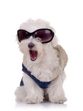 Seated bichon maltese. Picture of a bichon maltese wearing clothes and sunglasses and keeping it's mouth open Royalty Free Stock Image