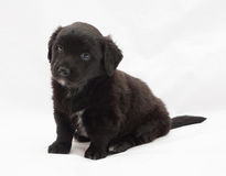 Seated black puppy Royalty Free Stock Photos