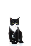 Seated black and white cat Royalty Free Stock Images