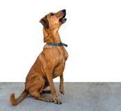 Seated brown dog, white background, attentive mongrel Royalty Free Stock Photos