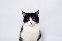 Seated cute black and white cat  looking camera Royalty Free Stock Photo