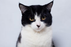 Seated cute black and white cat  looking  the camera Royalty Free Stock Photo
