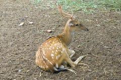A seated deer Stock Photos
