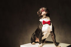 Seated french bulldog puppy  wearing bow tie is looking up Royalty Free Stock Photos