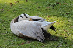 Seated Goose with yellow beak tucked under her wings Stock Photos