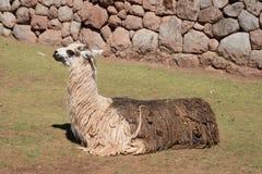 Seated lama. Sitting two-colored llama - Peru Stock Images