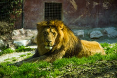 Seated lion portrait. A lion seated relaxed at sunlight in a zoo Stock Photography