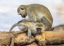 Seated mother black-faced vervet monkey, Ceropithecus aethiops, leaning over and grooming her baby stock images