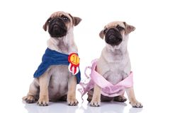 Seated pug couple dressed for halloween looking up to side. While sitting on white background Royalty Free Stock Image