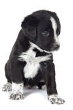 Seated puppy dog Royalty Free Stock Image