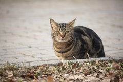 Seated tabby cat closeup Royalty Free Stock Photography