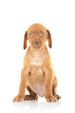 Seated viszla puppy dog Stock Image