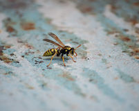 Seated wasp Stock Images