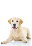 Seated yellow labrador retriever with mouth open Stock Images