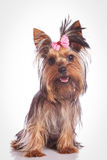 Seated yorkie puppy dog looking at the camera Royalty Free Stock Photos