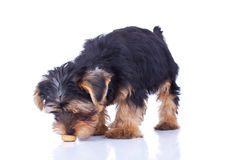 Seated yorkshire puppy sniffing Royalty Free Stock Photo