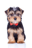 Seated yorkshire puppy withred bow Royalty Free Stock Image