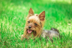 Seated yorkshire terrier puppy dog Stock Image