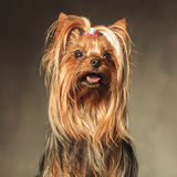 Seated yorkshire terrier puppy dog looking up Royalty Free Stock Photography