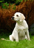 Seating Labrador Stock Photo