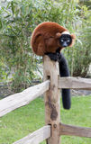 seating lemur загородки Стоковое Изображение RF