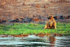 seating monkey Stock Image