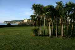 Seaton Palm Trees. A stand of palm trees in parkland at Seaton, Devon Stock Image