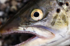 Seatrout eye Stock Photo