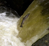 Seatrout Leaping Stock Images