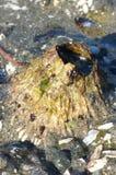 Seattle-Koralle Stockbild