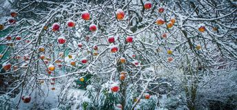 Seattle snow storm, Washington apples in the snow stock photo