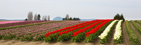 Seattle Tulip Field Royalty Free Stock Photography