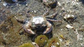 Seattle vaggar krabban Arkivfoton