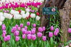 SEATTLE, WA - APRIL 29, 2017: Scagit Valley Tulip Festival in Washington. Stock Photo
