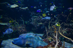 SEATTLE, WASHINGTON, DE V.S. - 25 JANUARI, 2017: Exotische koraalvissen in marien aquarium op blauwe achtergrond Stock Foto