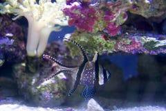 SEATTLE, WASHINGTON, EUA - 25 de janeiro de 2017: Peixes corais exóticos no aquário marinho no fundo azul Foto de Stock Royalty Free