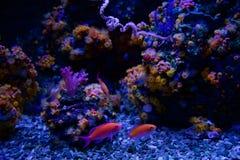 SEATTLE, WASHINGTON, los E.E.U.U. - 25 de enero de 2017: Pescados coralinos exóticos en acuario marino en fondo azul Fotografía de archivo libre de regalías