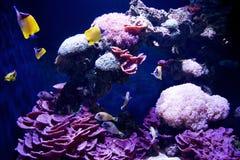 SEATTLE, WASHINGTON, los E.E.U.U. - 25 de enero de 2017: Pescados coralinos exóticos en acuario marino en fondo azul Imagenes de archivo