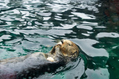 SEATTLE, WASHINGTON, USA - JAN 25th, 2017: Otter swimming on his back, looking into camera and eating fish in a aquarium Stock Photos