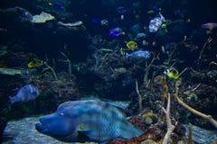 SEATTLE, WASHINGTON, USA - 25. Januar 2017: Exotische korallenrote Fische im Marineaquarium auf blauem Hintergrund Stockfoto