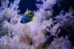 SEATTLE, WASHINGTON, USA - 25. Januar 2017: Exotische korallenrote Fische im Marineaquarium auf blauem Hintergrund Lizenzfreies Stockfoto