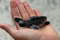 Seaturtle do bebê de Cuba Foto de Stock