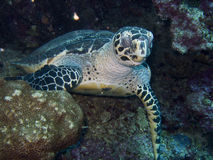 SeaTurtle3 Stock Photography