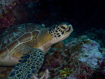 SeaTurtle4 Royalty Free Stock Photos